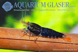 "485442 Neocaridina ""Black Tiger Yellow Eyes"""
