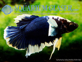 390643 Betta splendens elephant ear-2