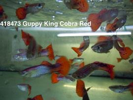 418473 Guppy King Cobra Red (Только самцы)