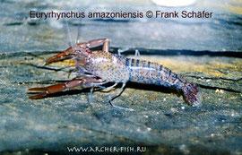 483554 Euryrhynchus amazoniensis