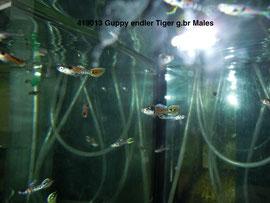 419013 Guppy Endler Tiger.br.Самцы