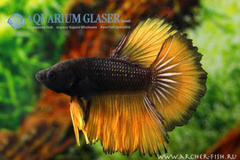 390623 Betta splendens MUSTARD GAS
