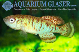 330353 Nothobranchius Capriv/Stripe