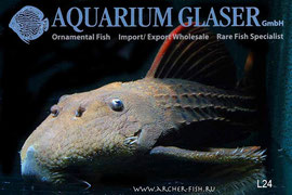 L24-11 Pseudacanthicus serratus 40-50cм