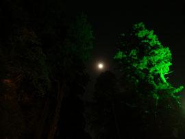 ライトアップされた大杉の間からみえる十三夜