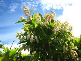 ムニンシャシャンボの花