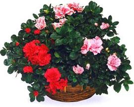 Азалия красная и розовая