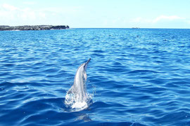 コナコーストを10から50分走り、イルカ発見!イルカと泳ぎます!