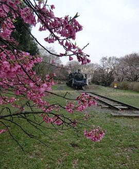 ●蒸気機関車のある場所では、寒緋桜がまだ咲いていました