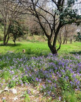 ●紫大根(諸葛菜)が咲いていた場所