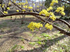 ●早春に咲く黄色い花、サンシュユが満開でした