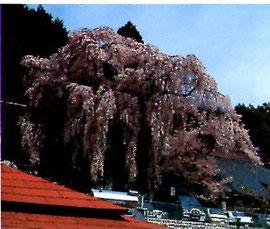 地面に触れんばかりの巨木桜