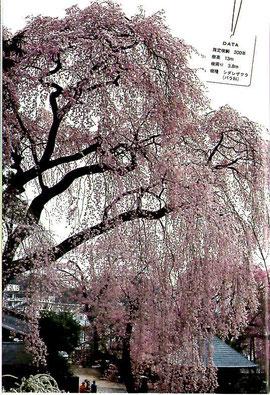 樹齢300年 樹高13m 幹周り3,8m 樹種 シダレザクラ(バラ科)