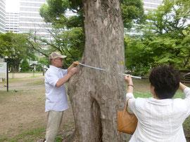 巨木の計測法を実演