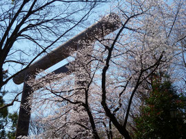 鳥居の桜も満開