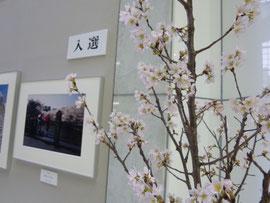 本物の桜も写真の桜も楽しめます