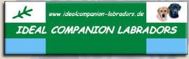 Ideal Companion Labradors