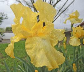 Un autre Iris (agrandissable)