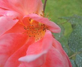 Approchez vous de la rose (Agrandissable)