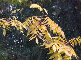 黄葉したペカンの葉