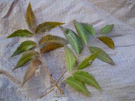 ペカンの葉