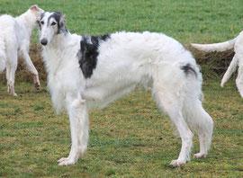 Sablefarbene Barsois aus Deutschland mit FCI Papieren...Barsois und Scottish Deerhounds aus liebevoller Aufzucht!