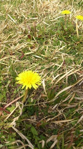 たんぽぽ。 春の代名詞ですね。