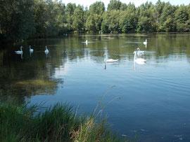 Cygnes sur les étangs de Verberie