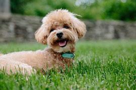 un caniche beige couché dans l'herbe par coach canin 16 éducateur canin en charente