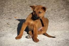 un chien marron se gratte par coach canin 16 éducateur canin en charente