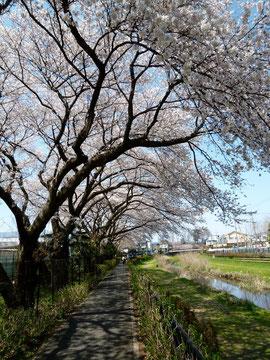 とらぬ狸の散歩/野川沿い〜桜のトンネル (H.24.4月)