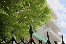 仙台別院境内の楓の新緑