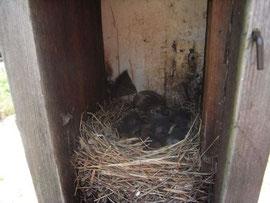 生まれたてのひな鳥も見せてくださいました。