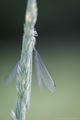 Libelle im Nationalpark Jasmund.