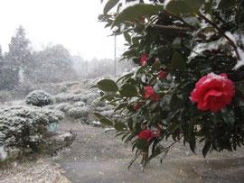 2011年2月、寒い日が多かった。(雪のサザンカ)