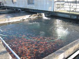 松之助の生産池の様子
