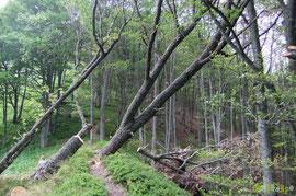 N°27/ En montant vers le Belvédère sur la crête d'Ourtasse un chêne encore emmêlé dans les autres arbres.