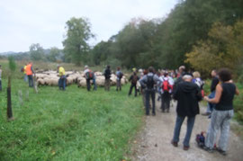 A nouveau une halte pour brouter à la sortie du bois : le troupeau qui fournit un effort d'endurance doit nécessairement s'alimenter pour tenir la distance...
