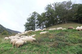 Les brebis resquillent un lacet de la Route de Bouésou