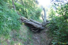 N°43/ Avant le dégagement de la souche entravant le Chemin de Beloute au retour du Col d'Aras