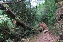 N°20/ Un mois plus tard, quelques racines du chablis suspendu ont craqué, et le voici tout entier sur le chemin après avoir roulé de travers, heureusement personne n'est mort dessous !