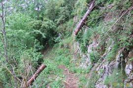 N°22/ La même bille (diam. 25 cm) tronçonnée pour ouvrir le chemin d'Ilhurté du Bois de Chimits : la partie amont menace de glisser.