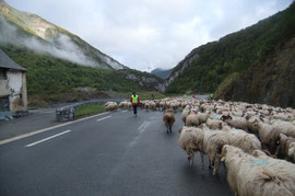 Le troupeau prend ses aises après l'Auberge du Peilhou