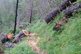 N°22/ La même bille (diam. 50 cm) tronçonnée pour ouvrir le chemin d'Ilhurté du Bois de Chimits : la partie amont menace de glisser.