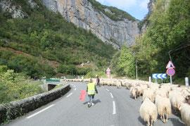 Le troupeau suit docilement à droite au Pont d'Urdos.