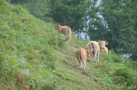 N°1/ Bourdieu-Bilboquet : deux coupes de débroussaillage dans une vieille fougeraie + une quinzaine de vaches = herbe fine