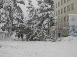 Эту свалившуюся 20 марта от тяжести снега сосну, чьи корневища даже торчали наружу, не стали пилить на дрова. Ей бережно помогли встать на место.