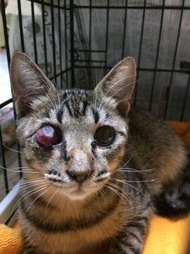キジトラの猫( ボブ)は、左目が突出してました…(涙)