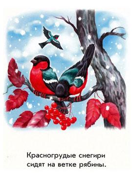 Красногрудые снегири сидят на ветке рябины