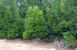 Mangrove forest in Ranong Province Thailand